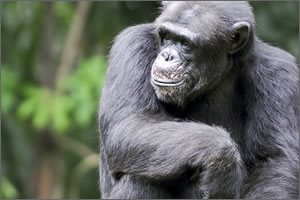 His theory of human beings evolving from apes